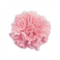 pink_montezuma